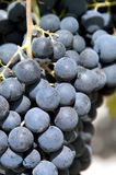Purple red grapes Royalty Free Stock Photography