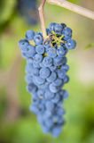 Purple red grapes and bee Stock Photography