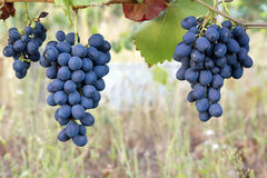 Purple red grapes Royalty Free Stock Photo
