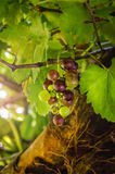 Purple red grapes Royalty Free Stock Images