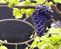 Purple red grapes with green leaves. On the vine. fresh fruits Royalty Free Stock Images