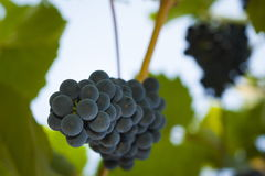 Purple red grapes with green leaves Royalty Free Stock Photography