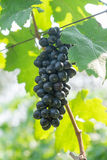 Purple red grapes with green leaves on the vine Stock Photo