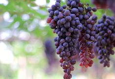 Bunch of red grapes with green leaves hanging in the vineyard stock photography