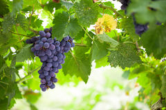 Purple red grapes with green leaves on the vine Stock Image