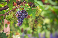 Purple red grapes with green leaves on the vine Royalty Free Stock Images