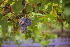 Purple red grapes with green leaves on the vine Stock Images