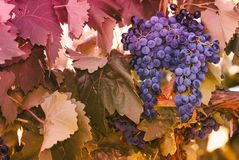 Purple red grapes with green leaves on the vine. vine grape frui. T plants outdoors. autumn and harvest Royalty Free Stock Photos