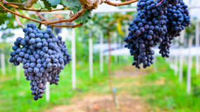 Purple red grapes Stock Image