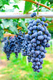 Purple red grapes Stock Photo