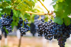 Purple red grapes on the vine. In the garden Royalty Free Stock Images