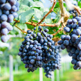 Purple red grapes on the vine Royalty Free Stock Photos