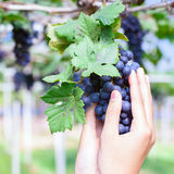 Purple red grapes vine. Woman holding purple red grapes on the vine Stock Images