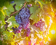 Purple red grapes in the vineyard Royalty Free Stock Photos