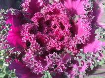 Purple red kale Royalty Free Stock Photos