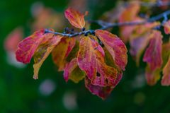 Purple red leaf hanging from tree in autumn Royalty Free Stock Photo