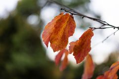 Purple red leaf hanging from tree in autumn Royalty Free Stock Image