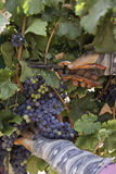 Purple red Merlot grapes Stock Photos