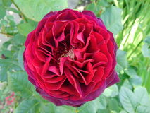 Purple -red plush rose in the summer garden Royalty Free Stock Photo