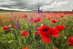Purple and red poppy field in mountains close-up Stock Image