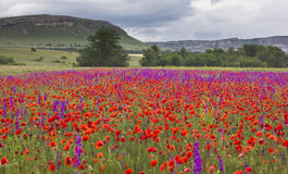 Purple and red poppy field in mountains Stock Image