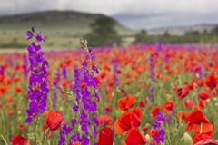 Purple and red poppy field in mountains Royalty Free Stock Images