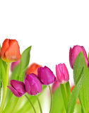 Purple and red tulip Stock Photography