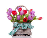 Purple and red tulips Royalty Free Stock Image