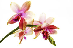 Purple red white orchid blossoms Stock Photography