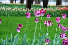 Purple-red-white Tulip flowers in zhongshan Park Stock Photography