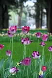 Purple-red-white Tulip flowers in zhongshan Park Royalty Free Stock Photos