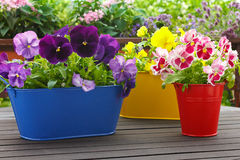 Purple red yellow pansy flowers Stock Photography