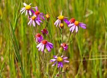 Purple, red and yellow wildflowers royalty free stock photo