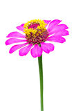 purple red zinnia flower Royalty Free Stock Images