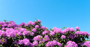 Purple rhododendron Stock Photos
