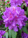 Purple Rhododendron or Azalea Royalty Free Stock Image