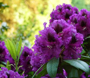 Purple rhododendron on a beautiful background. Royalty Free Stock Images
