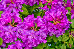 Purple Rhododendron Flower Blooms Stock Image