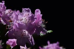 Purple Rhododendron flower with extended stamen sunbathing on spring sun, black background Royalty Free Stock Photo