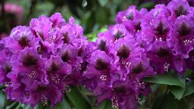 Purple rhododendron flowers on a beautiful background. Stock Photography