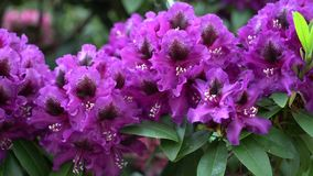 Purple rhododendron flowers on a beautiful background.. Color correction. Purple rhododendron flowers on a beautiful background stock video