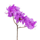 Purple rhododendron flowers on branch. Royalty Free Stock Photo