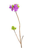 Purple rhododendron flowers on branch. Stock Photo