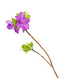 Purple rhododendron flowers on branch. Stock Image