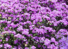Purple rhododendron flowers Stock Images
