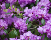 Purple rhododendron flowers Stock Image