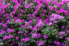 Free Purple Rhododendron Flowers In Blossom. Stock Photo - 126238120