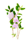 Purple rhododendron flowers Labrador tea isolated on white background Stock Images