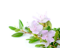Purple rhododendron flowers Labrador tea on white background Royalty Free Stock Photo