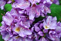 Purple rhododendron flowers with pink and yellow pistil and stamen, soft green blurry leaves background, top view close up. Macro detail stock photography